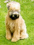 wheaten terrier puppy with heavy coat