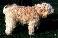 wheaten terrier with shaggy coat