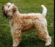 wheaten terrier with full tail